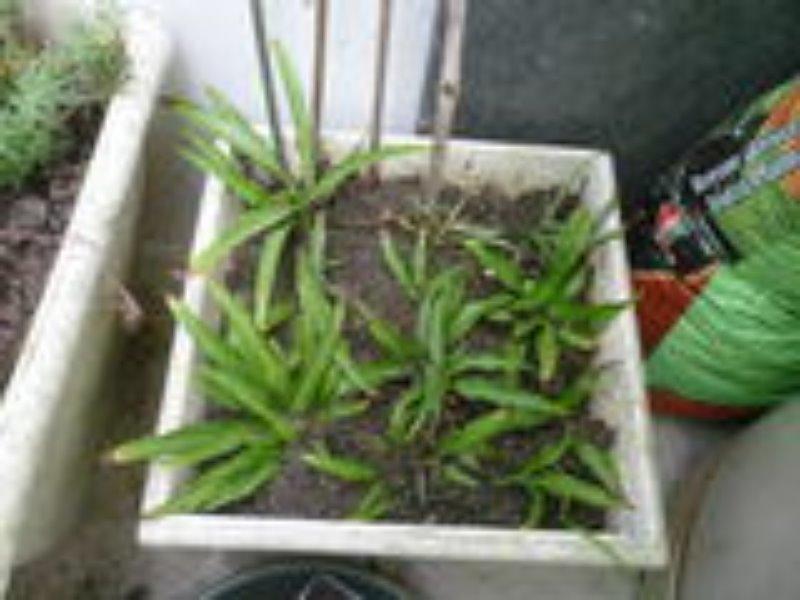 Recyclage, Récupe & Don d'objet : donne scolons de chlorophytum